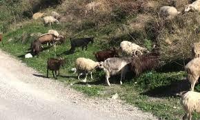 Ερώτηση Βαρδάκη – Θραψανιώτη για στήριξη κτηνοτρόφων Ανατολικής Κρήτης.